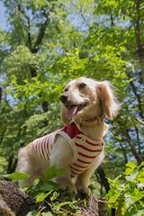IMG_1268-2 (yukichinoko) Tags: dog dachshund 犬 kinako ダックスフント ダックスフンド きなこ