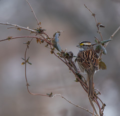 Wind Chill and White-throat (Luckybon) Tags: whitethroatedsparrow