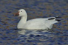 Snow Goose, UMass Campus Pond, Amherst, MA (Janaswamy) Tags: snow goose grinning