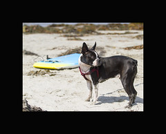 Ziggy Ready to Surf (Transient Eternal) Tags: ocean pet pets beach dogs sports water animals bostonterrier sand friend surf waves sandiego cardiff places canine surfing terrier ziggy active boogieboard surfingdog