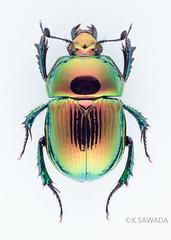 Phelotrupes(Chromogeotrupes) auratus auratus (Motschulsky,1857)13 (kenta_sawada6469) Tags: nature colors insect japanese metallic beetle insects beetles specimen jewel coleoptera dungbeetle scarabaeoidea