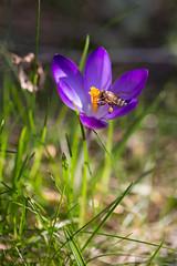 Herald of Spring (memories-in-motion) Tags: flower nature garden spring blossom natur crocus 100mm bee honey pollen february makro insekt garten f28 herald krokus februar biene frhling bote sping honig blhen honigbiene frhlingserwachen frhlingsbote bestubung 1400sec bte caoon niene 5dmarkiii ef100mmf28lmacroisusm