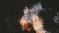 Arnie (zildjianpro) Tags: brown sun sunlight black daylight mix squirrel profile tan samsung naturallight canine rottweiler blackdog hazeleyes shepard dogportrait dogeye dogprofile galaxys5