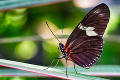 _DSC8531 Doris Longwing (Charles Bonham) Tags: macro butterfly insect bokeh dorislongwing dowgardens butterfliesinbloom dowgardensconservatory dowgardensmidlandmi charlesbonhamphotography