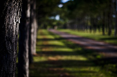 The road (::: M @ X :::) Tags: trees topf25 50mm arboles dof camino bark topf pinos 18 vanishing corteza
