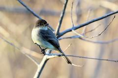 Great Crested Flycatcher. (rlbarn) Tags: bird