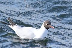Black-headed Gull (Chroicocephalus ridibundus) (sdflickr2) Tags: warwickshire draycote