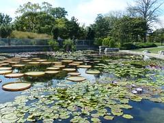 Chicago, Garfield Park Conservatory, Garden, Lily Pond (Mary Warren (6.7+ Million Views)) Tags: plants chicago green nature leaves garden pond flora foliage waterlilies garfieldparkconservatory lilypond