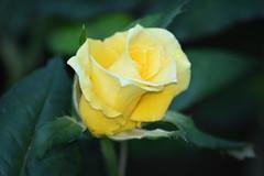 DSC_0144 (5) (Eugene1959) Tags: myfrontyard theyellowrose flowersandmacros nikond3300mynewestcamera