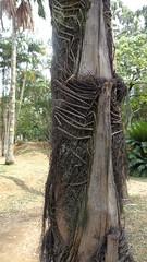 palm tree trunk (sftrajan) Tags: colombia palmtree jardimbotnico botanicgarden botanicalgarden medellin jardnbotnico  ortobotanico  palmgarden botanischetuin botanisktrdgrd jardnbotnicodemedelln jardnbotnicojoaqunantoniouribe medellinbotanicgarden botanicalgardenofmedelln medellnbotanicgarden