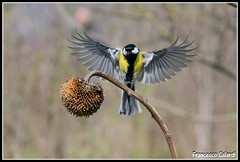 Bada che ali belle!!!! (torben84) Tags: nature fauna fly nikon natura volo tamron avifauna parus maior decollo tamronlens cinciallegra fringuello atterraggio landig fringuelli 150600 d7200