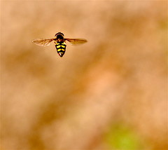 Hovering Hover Fly (Kazooze) Tags: favorite macro nature sunshine garden bokeh outdoor depthoffield hoverfly hovering flowerfly sigma105mmmacrolens
