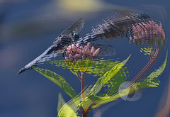 Swift... (Vivid_dreams) Tags: abstract detail art nature artistic dragonfly digitalart insects digitalphotography skimmer digitalmanipulation abstractnature artisticmanipulation