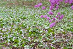 20160403-DSC_5962.jpg (d3_plus) Tags: sky plant flower macro nature rain japan walking nikon scenery waterdrop bokeh hiking drop daily telephoto rainy bloom  tele nikkor  wildflower  kanagawa   dailyphoto   thesedays 80200mm 80200 sagamihara   dogtoothviolet       8020028 zoomlense 80200mmf28d shiroyama  80200mmf28   erythroniumjaponicum     80200mmf28af d700  nikond700  aiafzoomnikkor80200mmf28sed dogtoothvioletvillage