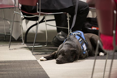 March 16, 2016 (msudiversityandinclusion) Tags: dog servicedog companion 19010 statewidecollaborativediversityconference 20160316