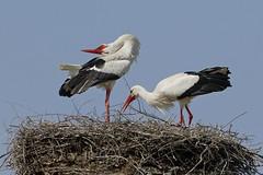 Storchenpaar  Stork (frodul) Tags: bird deutschland nest outdoor wildlife natur paar hannover ni horst stork vogel storch flgel frhjahr ciconiaciconia federkleid weisstorch