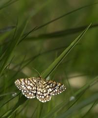 Gitterspanner/Kleespanner [ Latticed heath ] [ Liten buskmtare ] ( Chiasmia clathrata ) (ritschif) Tags: butterfly natur tier insekten schmetterling tagfalter latticedheath dagfjrilar chiasmiaclathrata gitterspanner litenbuskmtare kleespanner