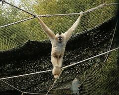 White-cheeked gibbon (suswann) Tags: ape primate pointdefiancezoo whitecheekedgibbon