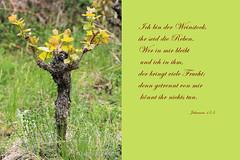 CHRISTUS IM WEINSTOCK - CHRIST IN THE VINE (- Lythy -) Tags: christ vine kreuz christus weinstock rebe