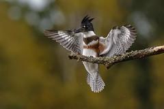 Belted Kingfisher (Peter Stahl Photography) Tags: bird fishing alberta kingfisher beltedkingfisher islelake femalekingfisher