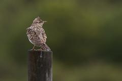 Crested Lark (ToriAndrewsPhotography) Tags: portugal photography andrews algarve plains tori crested lark