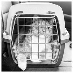 116/366 Visit to the Vets (Sarah*Rose) Tags: car cat box kitty angry mad vets mushu
