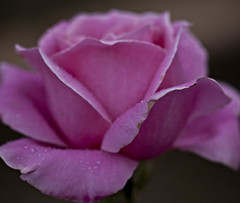 Afternoon Rain #06 (dleany) Tags: macro rose bokeh raindrops 100mmf28l 5dmkii