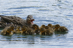 Mallard Mom Calling Brood (WMJ614) Tags: family cute nature water swim duck call wildlife flock duckling feather boilingsprings mallard quack brood