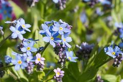 Vergissmeinnicht- forget-me-nots (Myosotis) (ralfkai41) Tags: flowers plants nature outdoor natur blossoms pflanzen blumen forgetmenot blüten vergissmeinnicht