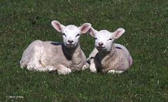 Spring Lambs   M4109144sm (Preselector) Tags: spring sheep lamb rspb leightonmoss suttoncoldfieldrspb