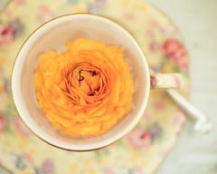 orange ranunculus and teacup (photoart33) Tags: stilllife orange flower vintage pretty ranunculus teacup