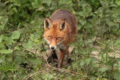 Vixen (Red Fox) (Colin Rigney) Tags: ireland red nature outside outdoors wildlife fox vixen irishwildlife canoneos7d colinrigney riverdoddercodublin