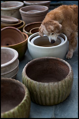Garden Assistant Inspecting Flower Pots Before Planting (fotografier/images) Tags: leica dog animal goldenretriever garden 50mm golden spring outdoor terracotta nick canine retriever pots noctilux 095 leicasl noctilux095