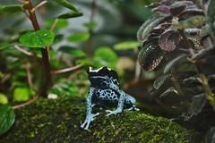 Dyeing dart frog (Dendrobates tinctorius) _DSC0111 (ikerekes81) Tags: dyeingdartfrogdendrobatestinctorius dyeingdartfrog dendrobatestinctorius dyeingpoisonfrog dyeing dart frog amphibian animal reptilediscoverycenterzoonationalnational rdc reptilediscoverycenter washingtondczoo washingtondc washington dc dczoo smithsoniannationalzoologicalpark smithsonian smithsoniannationalzoo national nationalzoo zoo zoosmithsonian nikond3200 nikon d3200 18105mm sb700 istvan istvankerekes ik kerekes