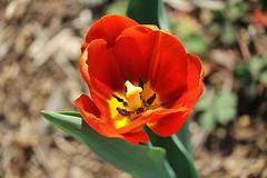 National Arboretum ~ Tulip innerds - HBW! (karma (Karen)) Tags: flowers washingtondc dof tulips bokeh brightcolors nationalarboretum 4spring hbw cmwdred bokehwednesdays