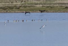 Avocet (12) (Mal.Durbin Photography) Tags: nature birds newport naturereserve newportwetlands maldurbin goldcliffnewport