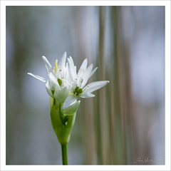 Ail des ours (Joce.V) Tags: flower nature fleur canon ail flore carr 100macro alliumursinum amaryllidaceae sousbois aildesours ailsauvage formatcarr aildesbois planteherbace 5dmarkii