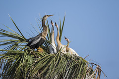 Anhinga (Michael Zahra) Tags: sky food usa baby bird nature water america fly nest feeding florida flight wing feather conservation wetlands feed juvenile anhinga
