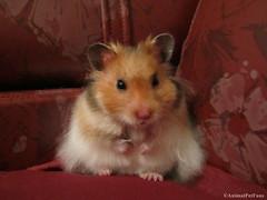 Hamster Srio (AnimalPetFans) Tags: pet pets animals hamster fans syrian criceto auratus srio mesocricetus
