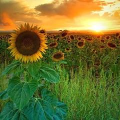 #tramonto #sunset #girasoli #sunflowers #colori #colors #panorami #views  (kenzokymura) Tags: sunset colors tramonto sunflowers views colori girasoli panorami