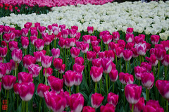 -  (snakecats) Tags: pink flower kyoto purple tulip           kyotoprefecturalbotanicalgarden