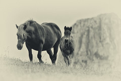 Mother and son (Joseba Alberdi Lizarazu) Tags: horses bw cheval caballos colt potro yegua zaldia urkiola zalditxo moxala behorra txuribeltz zuribeltz moxal