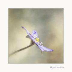 Hepatica nobilis (BirgittaSjostedt.) Tags: plant flower texture nature ie hepatica hepaticanobilis blueanemone photoborder magicunicornverybest birgittasjostedt