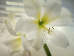 Last Rays (SLEEC Photos/Suzanne) Tags: lensbaby amaryllis textured dawnsurrat