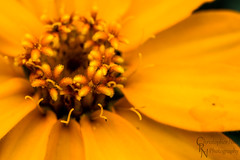 Coreopsis Yellow at the Chickasaw Cultural Center in Sulphur, OK - 20151017CRN (Christopher Neel Photography) Tags: flower macro art oklahoma nature up yellow photography close hiking fine christopher center adventure micro sulphur traveling neel cultural coreopsis chicksaw