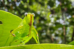 Katydid (Tettigoniidae) - DSC03826 (nickybay) Tags: macro singapore wideangle katydid tettigoniidae pasirrispark