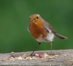 robin  13.05.16 (9) (Simon Dell Photography) Tags: uk red wild england detail bird simon robin garden photography one cool breast bright sheffield best awsome number dell valley wife xxx loved bf gf sute s12 britains hackenthorpe shirebrook uroasian