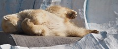 Very bright ! (EmilyOrca) Tags: bear light sunlight white animal mammal zoo marine bright body belly polar