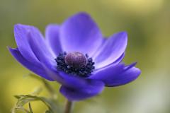 Anemone (Ale*66*) Tags: flower macro nature colors petals bokeh natura shades anemone fiore petali colori sfumature