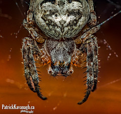 Org Weaver - Stepping Out... (Pat Kavanagh) Tags: canada macro spider alberta micro orbweaver easymacro